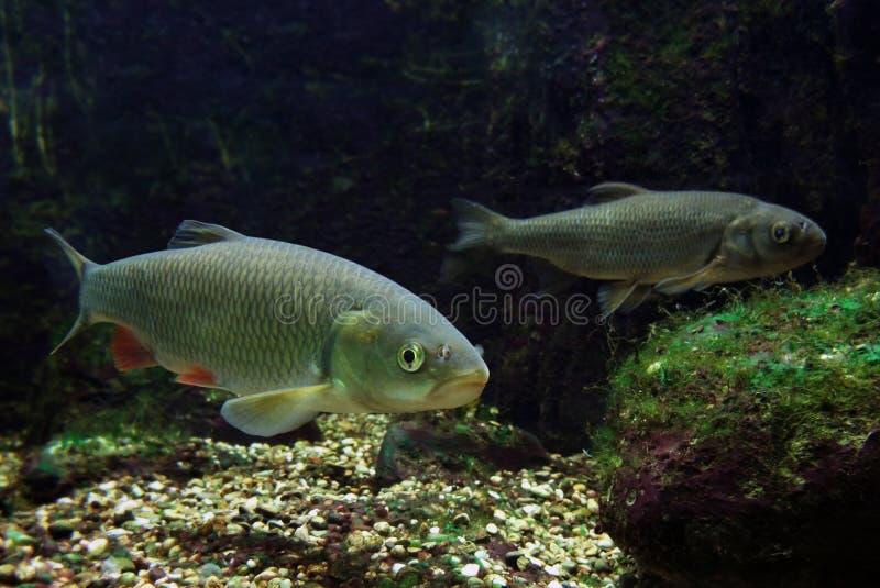 Twee zoetwatervissen stock afbeelding