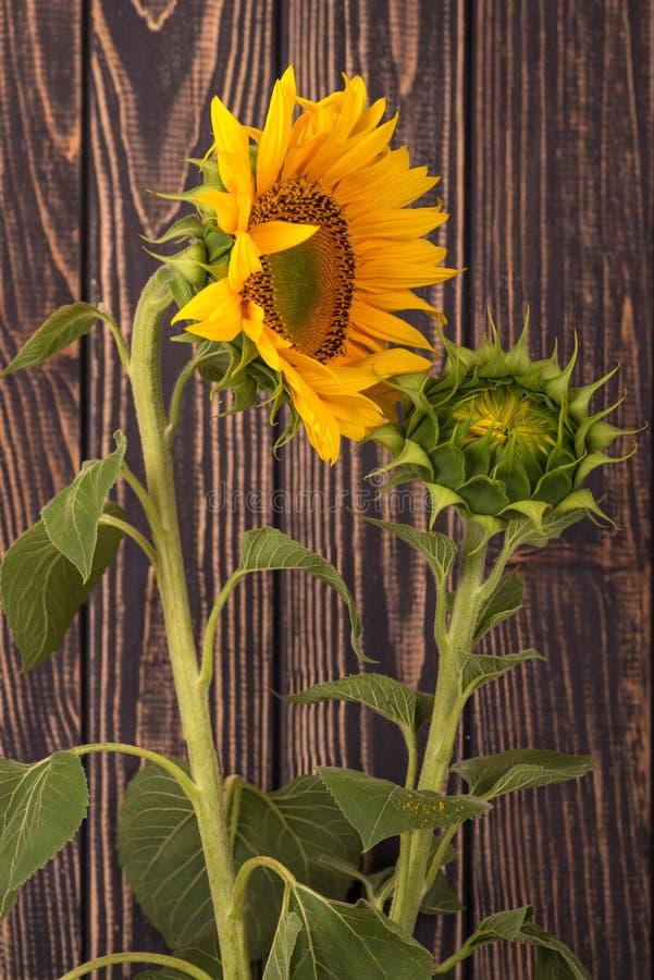 Twee zonnebloemen - één gele jonge en één groene knop tegen B royalty-vrije stock afbeeldingen