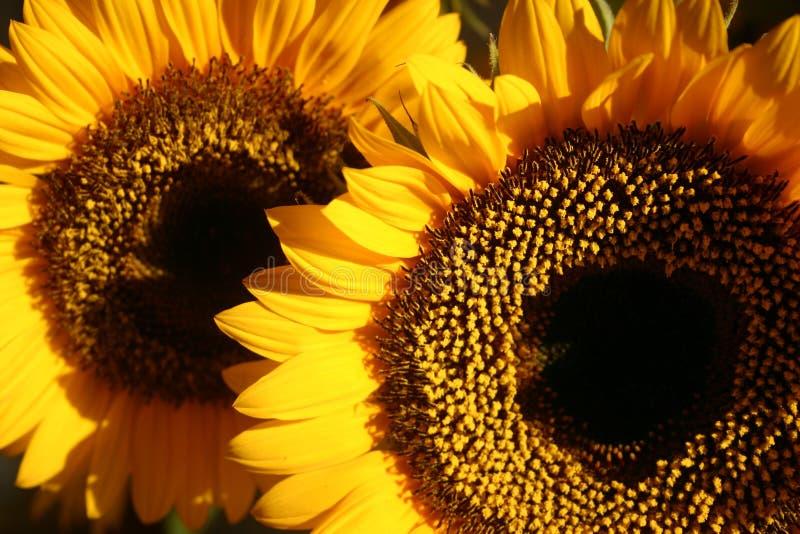 Twee zonnebloemen stock foto