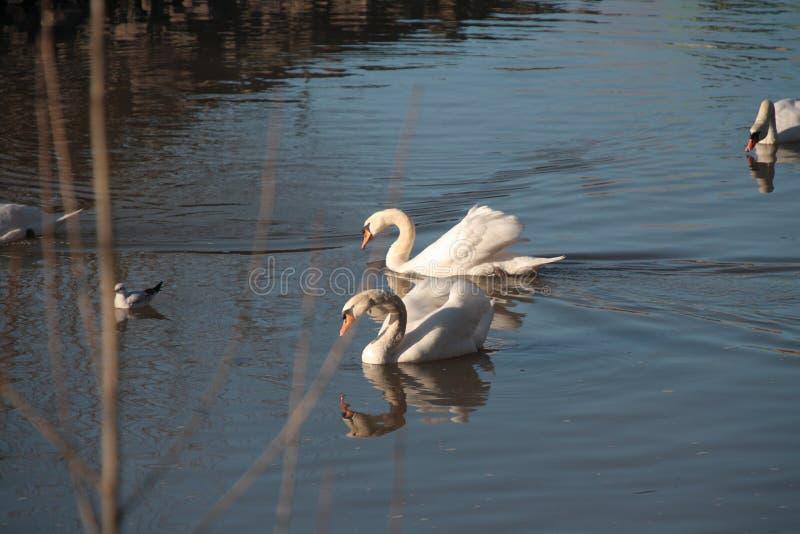 Twee Zwanen die op de Rivier Neckar zwemmen stock foto's