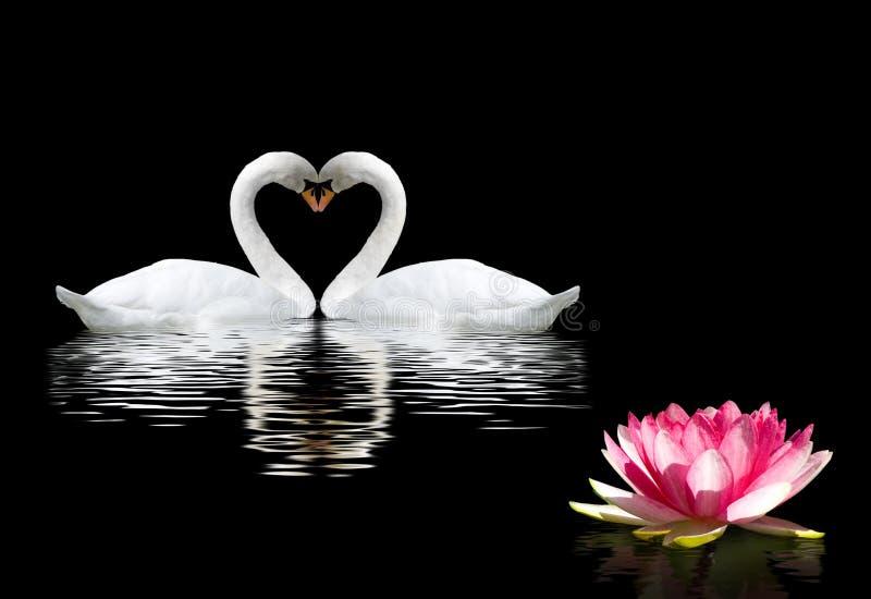 twee zwanen en een lotusbloembloem op het water stock afbeelding