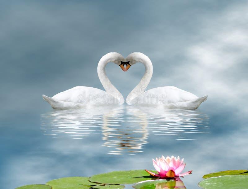 twee zwanen en een lotusbloembloem op het water royalty-vrije illustratie