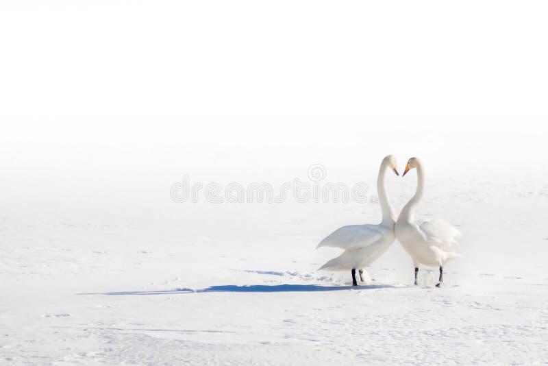 Twee zwanen in liefde op een sneeuwgebied stock fotografie