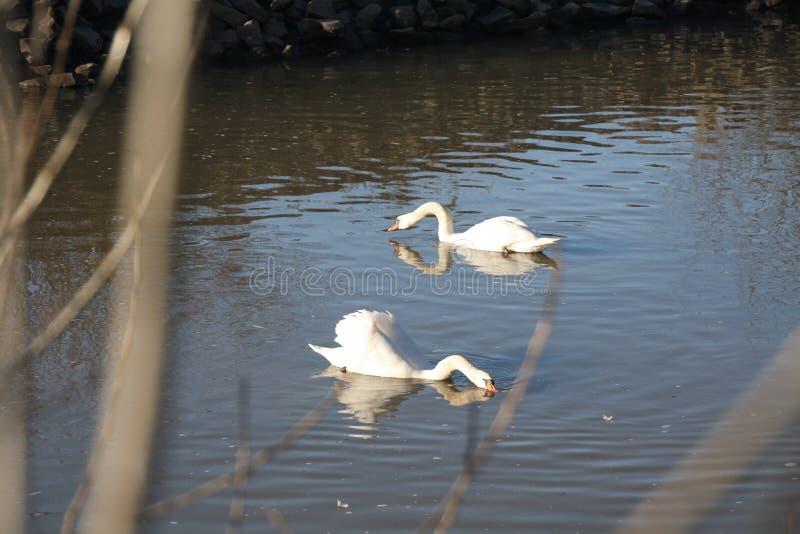 Twee Zwanen op de rivier Neckar op een zonnige Winterday stock afbeelding