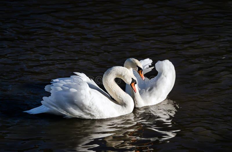 Twee zwanen op een achtergrond van water royalty-vrije stock foto's