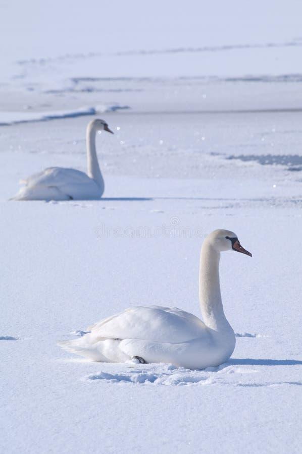 Twee zwanen op een bevroren meer stock foto