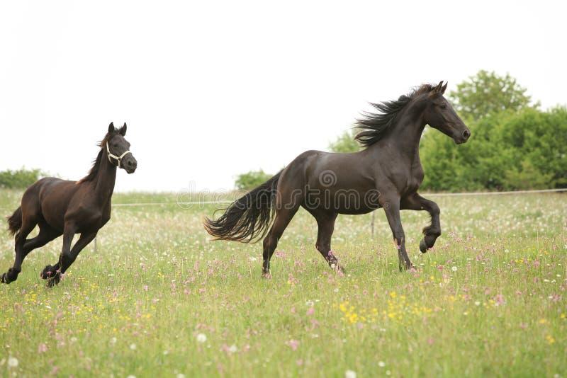 Twee zwarte friesian paarden die voor witte hemel lopen stock fotografie