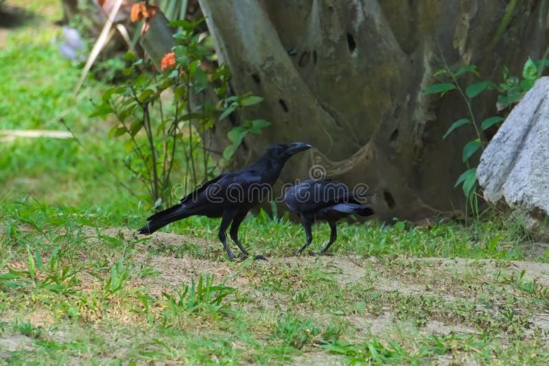 Twee zwarte kraaien op zoek naar voedsel, in een weelderig Thais tuinpark stock fotografie