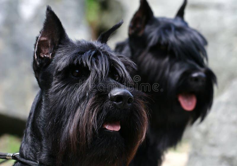 Twee zwarte portretten Riesenschnauzer royalty-vrije stock fotografie