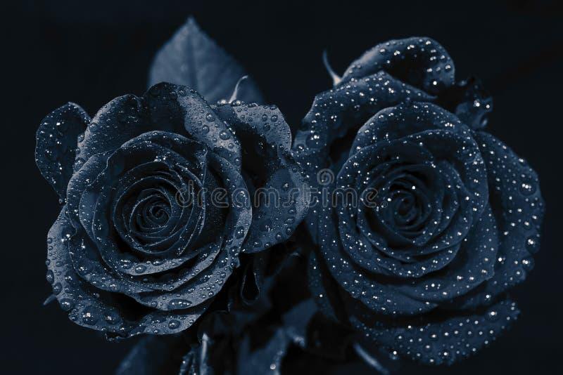 Twee zwarte rozen met waterdruppeltjes en zwarte achtergrond royalty-vrije stock fotografie