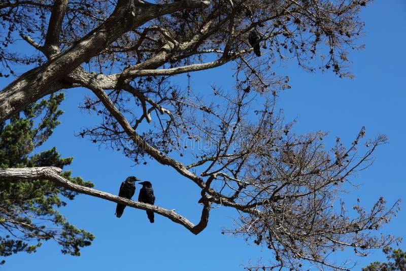 Twee zwarte vogels op de boom royalty-vrije stock afbeeldingen