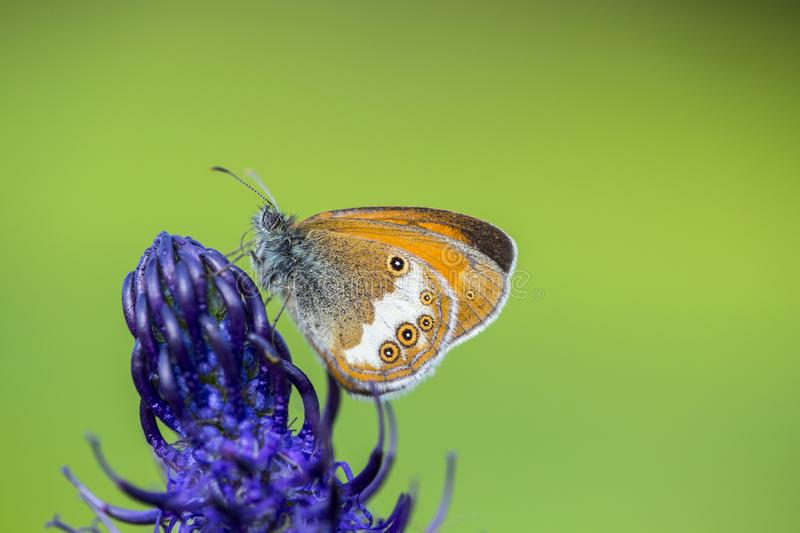 Tweekleurig hooibeestje, Pearly Heath, Coenonympha arcania royalty free stock photography