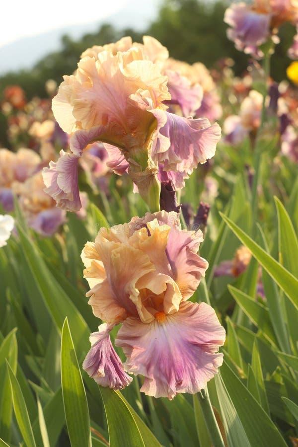 Tweekleurige iris op een bloembed stock afbeeldingen