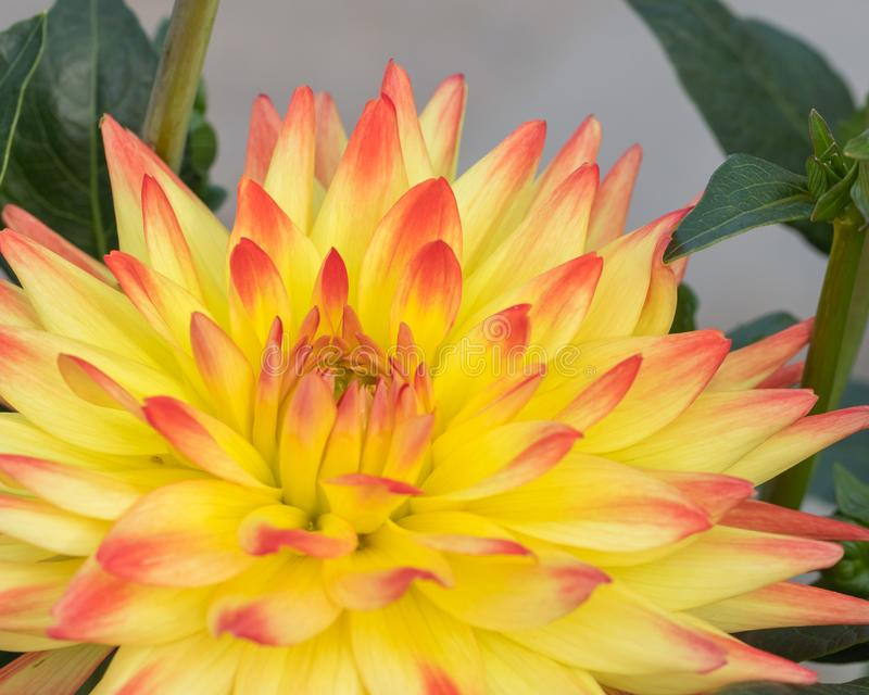Tweekleurige Oranje en Gele Dahlia royalty-vrije stock afbeeldingen