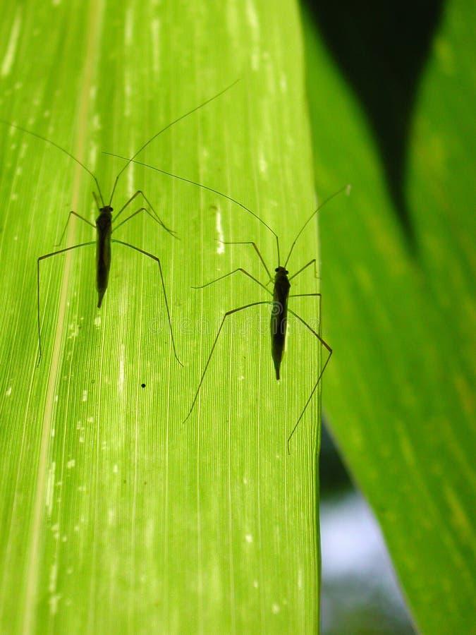 Tweeling insecten stock fotografie