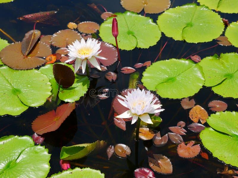 Tweeling witte de lotusbloemvijver van de mengelings purpere bloei stock foto