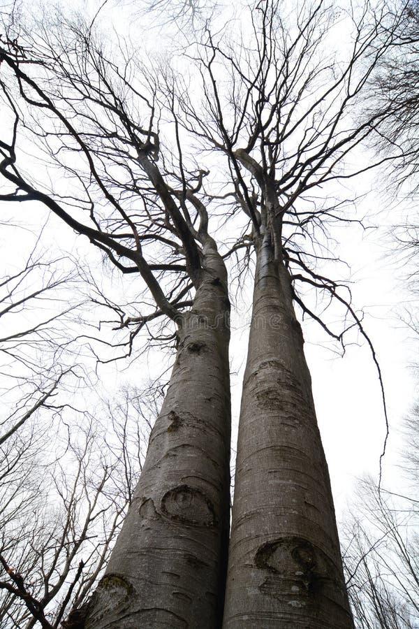 Tweelingbeukbomen stock afbeeldingen
