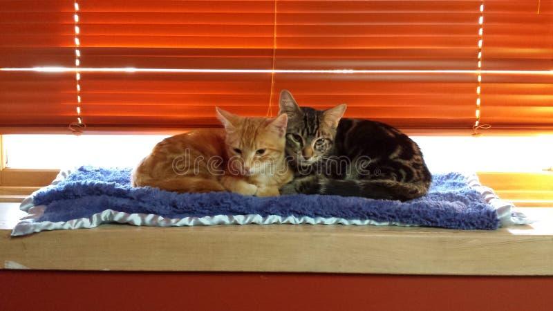Tweelingkatjes royalty-vrije stock afbeelding