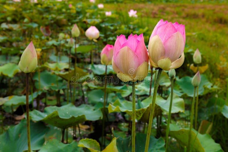 Tweelinglotus flowers brightly bloom in een Natuurlijke Tropische Vijver binnen stock afbeeldingen