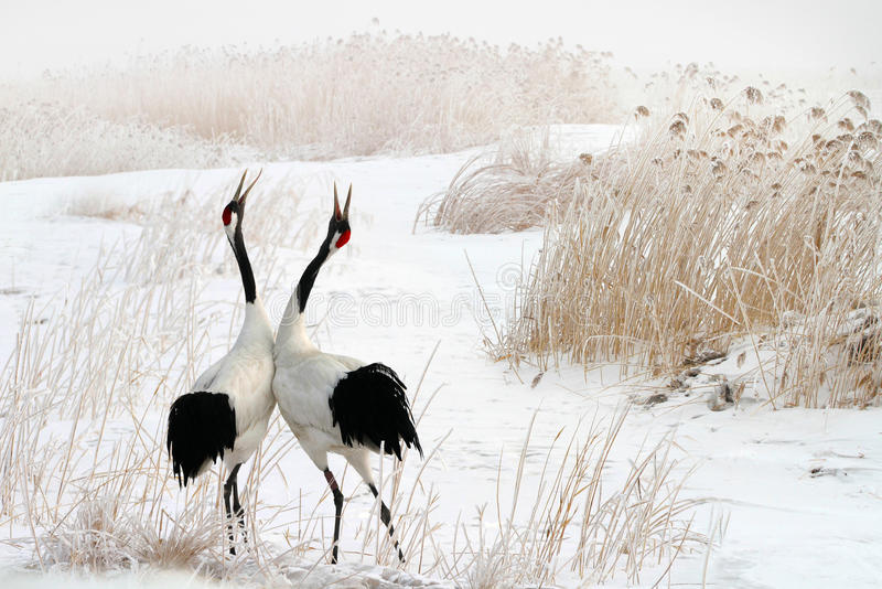 Tweet of the red-crowned crane in the snow royalty free stock image