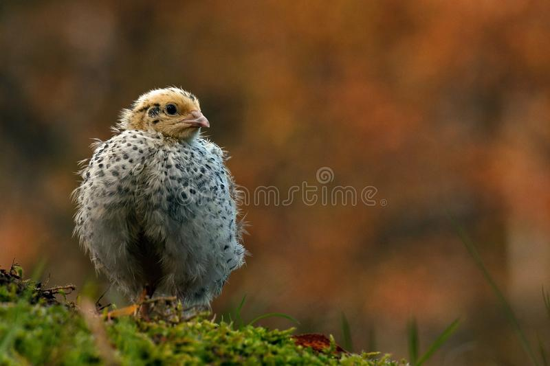 Twelve days old quail, Coturnix japonica..... photographed in nature. royalty free stock image