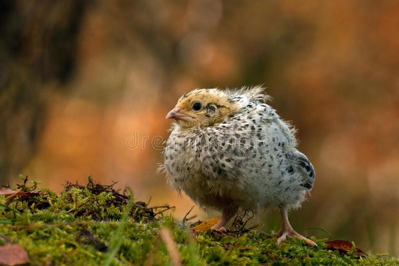 Twelve days old quail, Coturnix japonica..... photographed in nature. royalty free stock photography