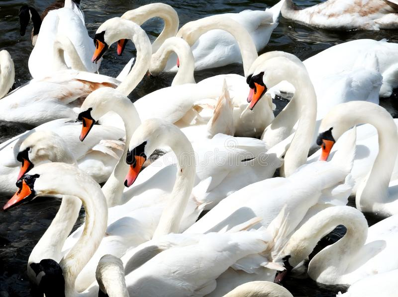 Twenty swans together stock photos