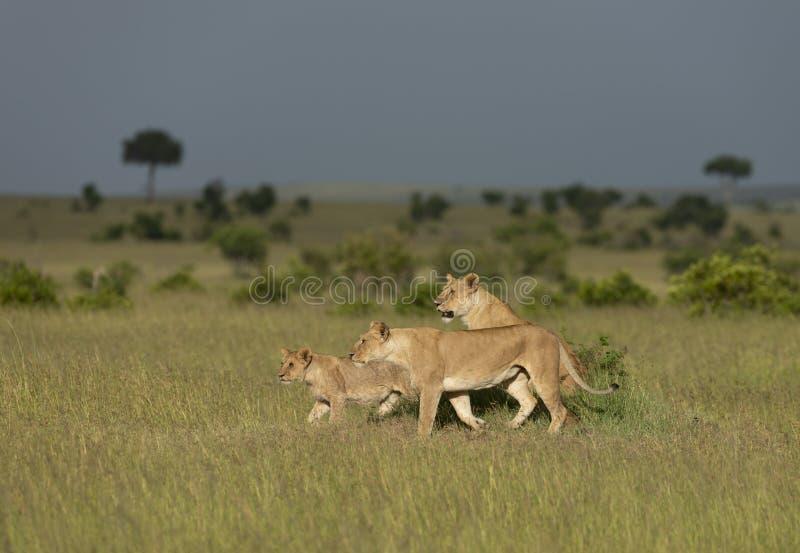 Twi lejoninna och ung gröngöling på en termitmontering på masaien Mara Game Reserve, Kenya royaltyfria bilder