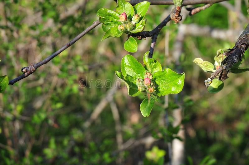 Twig of an apple tree with pink buds and fresh green leaves stock photos