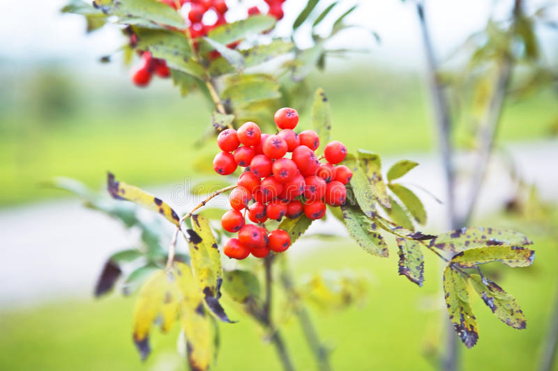 Twig of Ashberries. Twig of fresh red and ripe berries of ashberry royalty free stock images