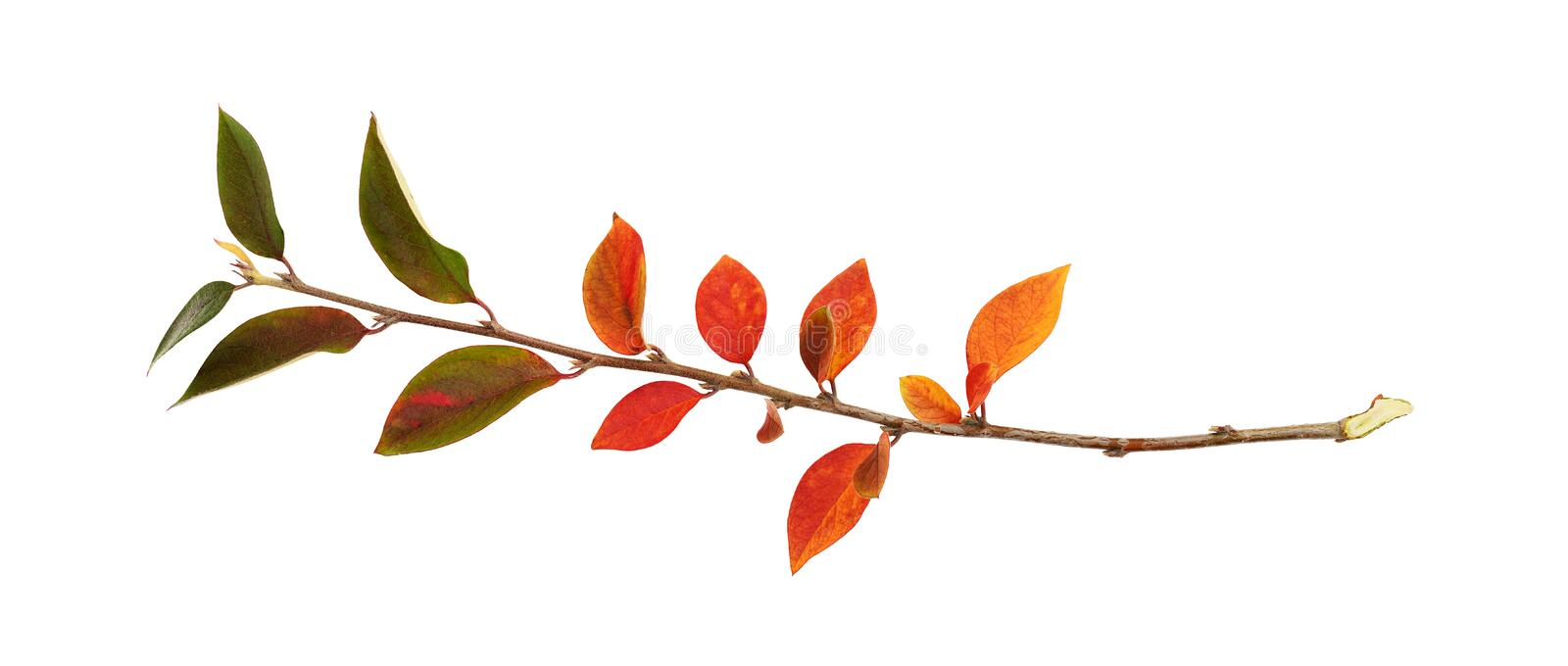 Twig of colorful autumn leaves. Isolated on white royalty free stock photo
