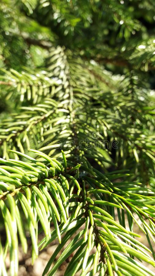 Twig of coniferous spruce. zoom perspective stock image