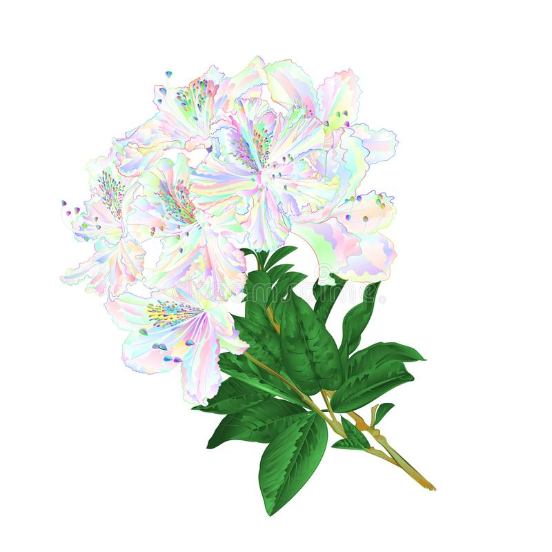 Twig färgade rhododendronblommor och lämnar bergbusken på en vit vektor för attraktion för bakgrundstappninghand stock illustrationer
