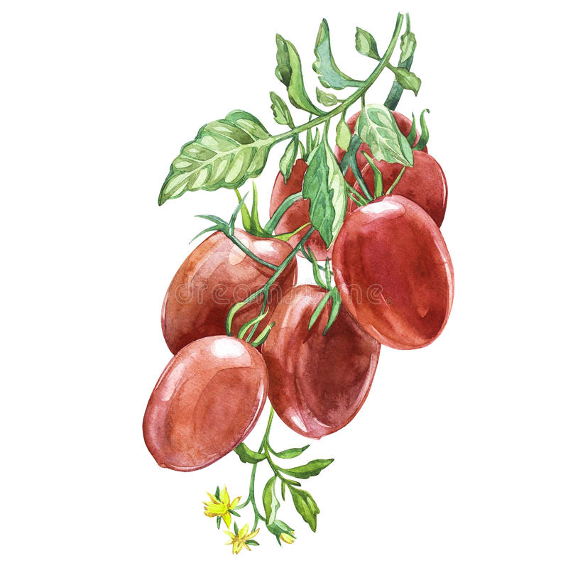Twig of fresh Roma Tomato.Watercolor hand drawn illustration. Isolated on white background. Roma Tomato.Watercolor hand drawn illustration. Isolated on white royalty free illustration