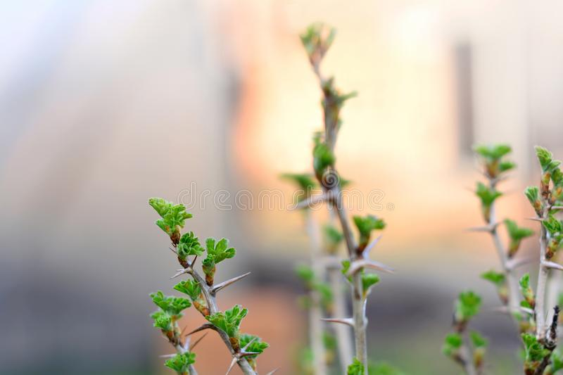 A twig of goosberry bush with young green leaves in early spring. A gooseberry bush twig with young green leaves in early springtime. Selective focus royalty free stock photos