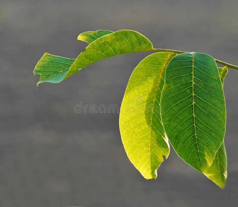 Twig with green leafes, backlit by sun royalty free stock photo