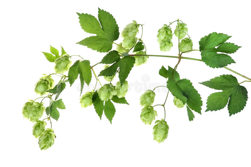 Twig with hop. Fresh ripe hop, isolated royalty free stock photo