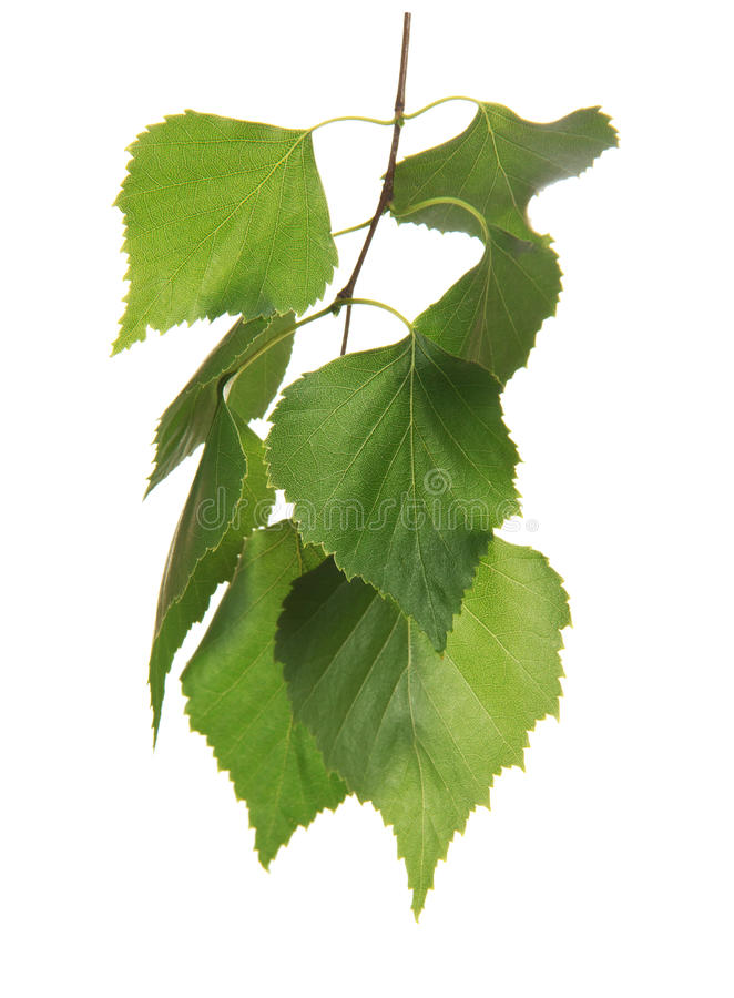 Twig with leaf of birch tree stock photo image 35303742 - Feuille de bouleau photo ...