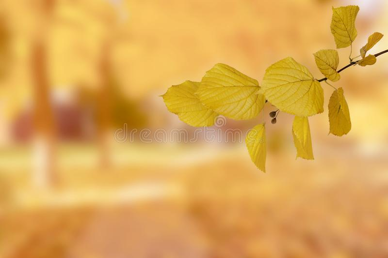 Twig of linden in the background of an autumn park stock photo