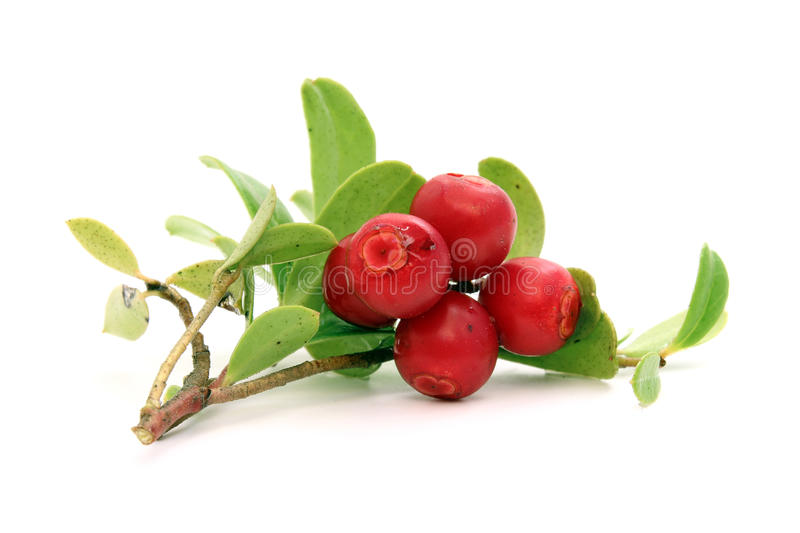Twig of lingonberry with drops. Twig of ripe lingonberry with drops of water royalty free stock photography