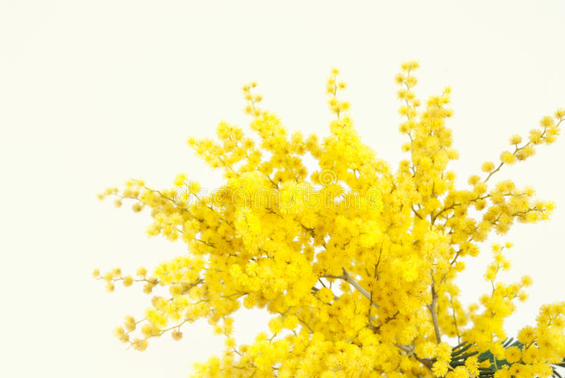 Twig of mimosa flower. On light yellow background royalty free stock images