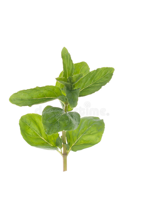 Download Twig of mint stock photo. Image of herbal, mint, spearmint - 24604128