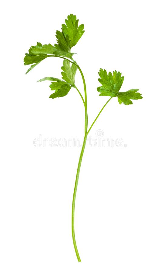 Free Twig Of Fresh Green Parsley Herb Isolated On White Stock Photo - 155253960