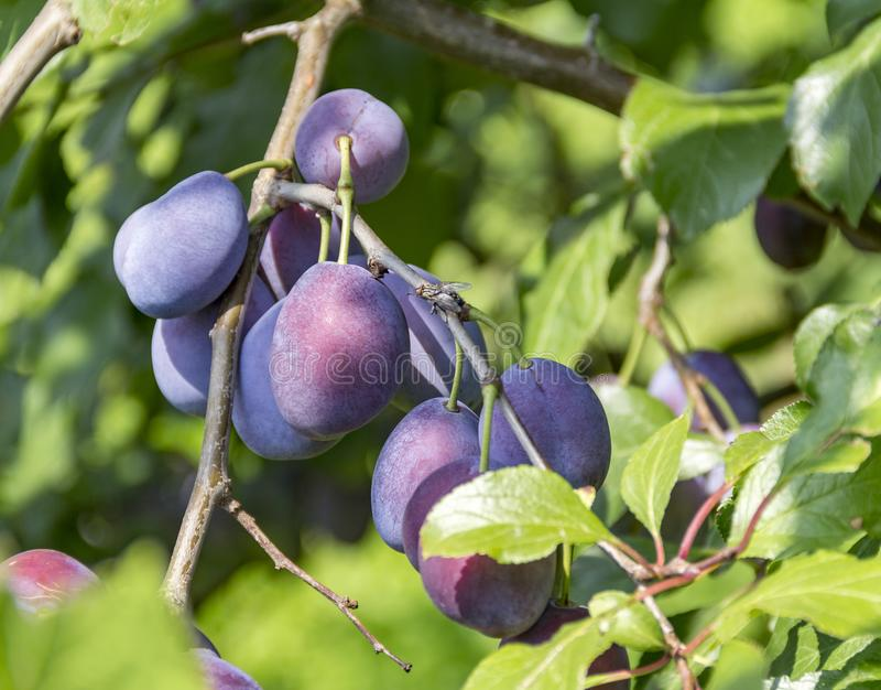 Twig with plums stock photos