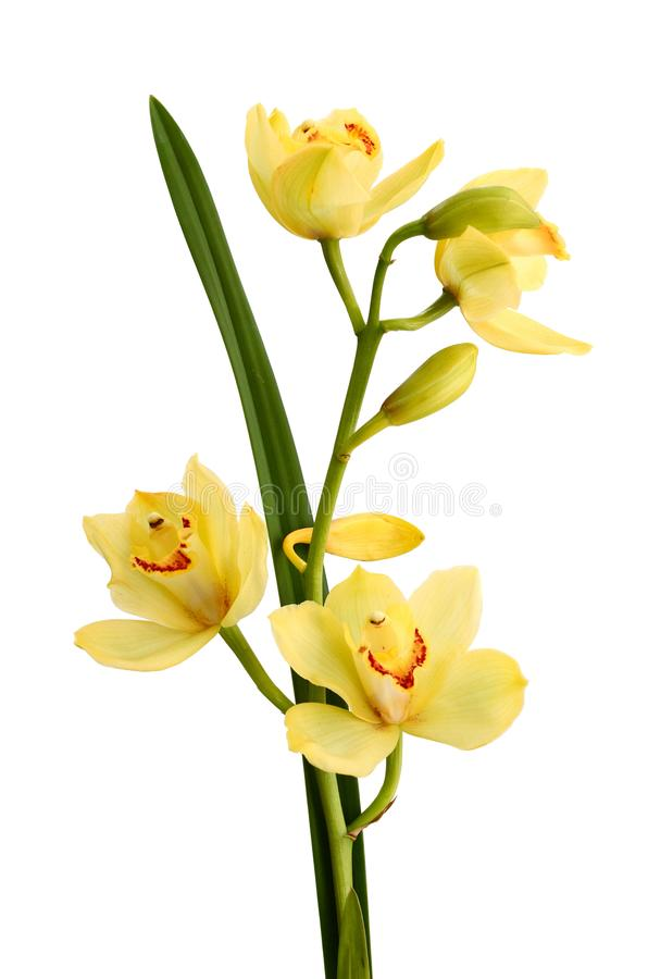 Branch purple and yellow orchid isolated on white background. Color, delicate. Twig of pointed orange orchid is isolated on white background royalty free stock photography