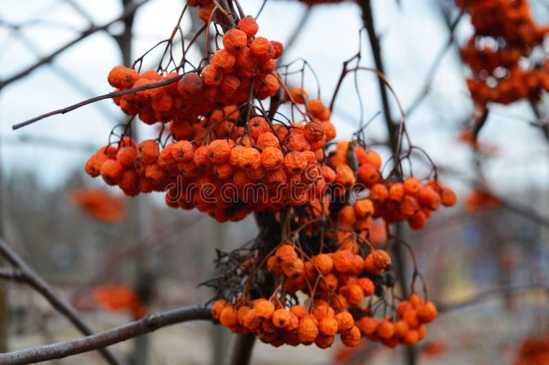The twig of the Rowan. Orange berries. The real beauty of nature. The twig of the Rowan. Orange berries in the city park. Interesting picture royalty free stock photo