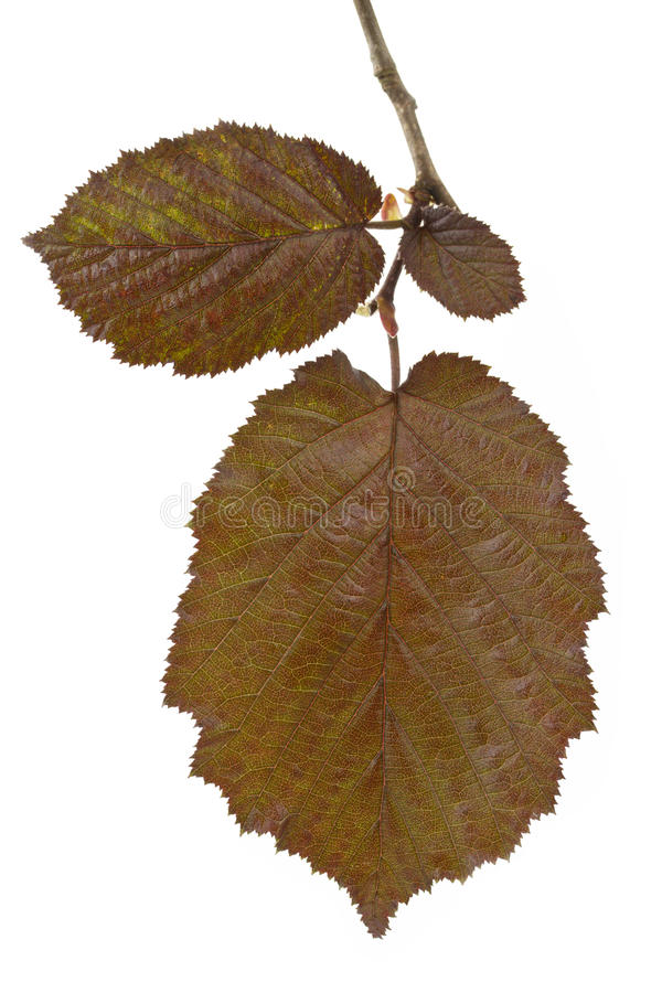 Twig with three young brown hazel leaves. Brown hazel leaves (Corylus maxima) on white background royalty free stock photos