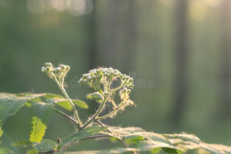 Twig with unblown flowers of a mountain ash and a caterpillar on it in the forest at sunset. Twig with unblown flowers of a young mountain ash and a caterpillar stock photos