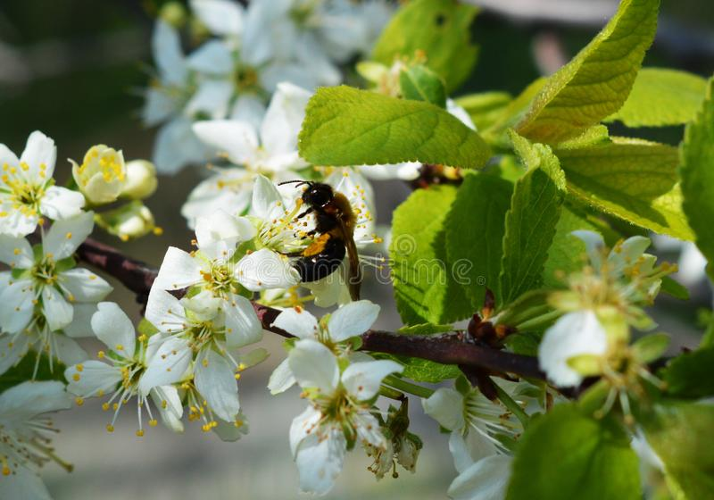 Twig with white cherry flowers in the garden. A hornet on the flower. stock images
