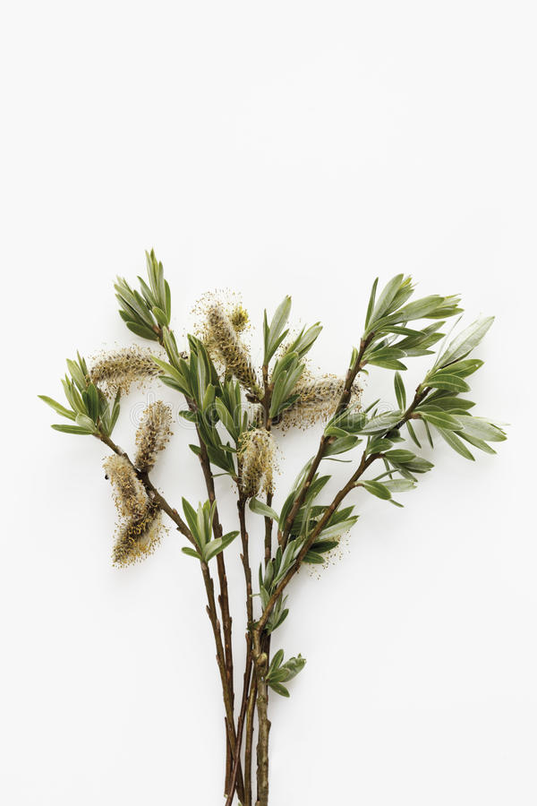 Twig of willow catkins stock photo